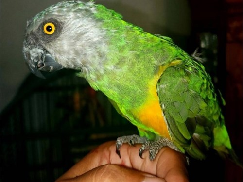 Tame male senegal parrot