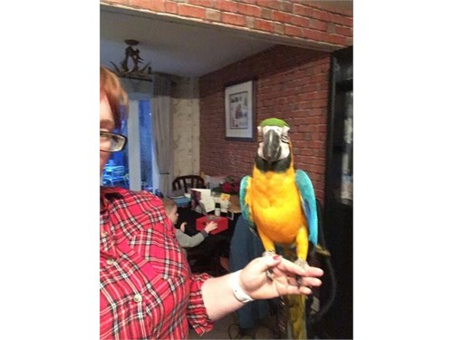 Hand Reared Macaw