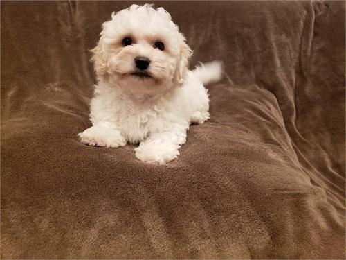 Paltipoo Puppies