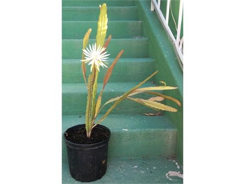 >>>White Orchid Cactus<<<