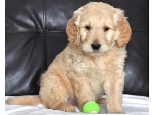 adorable Goldendoodle pup