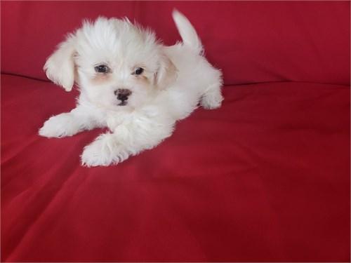 Maltipoo Puppies M/F