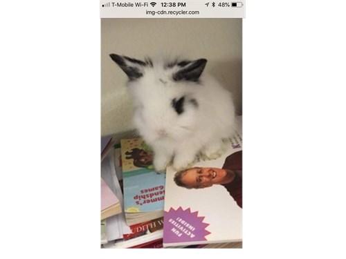 Lion head bunny