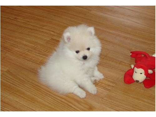 Pomeranian Puppies for Sa