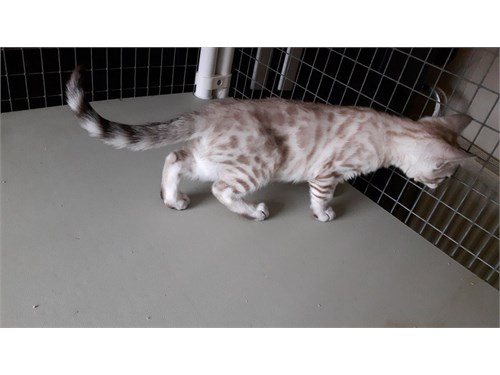 Brown Rosetted Bengal.