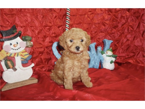 Super Tiny Red Maltipoo
