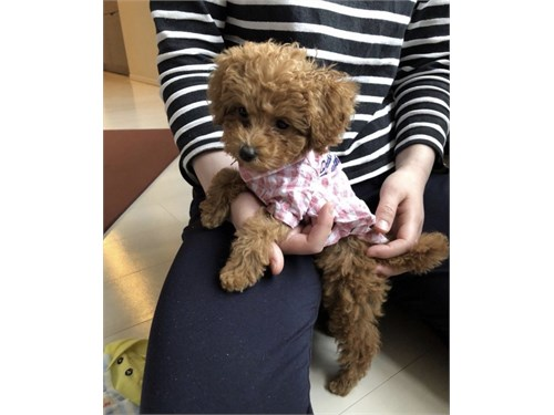 Teacup Red Maltipoo