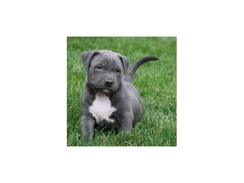purebred pitbull puppies