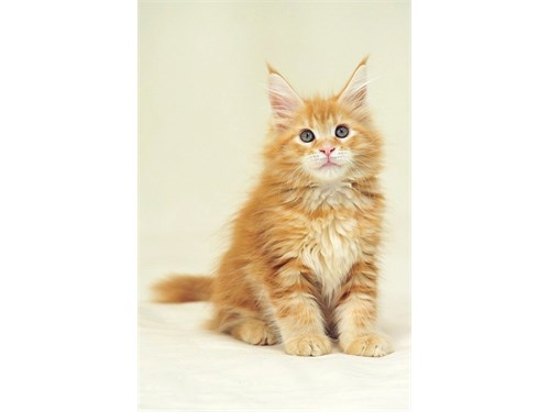 Adorable Maine Coon