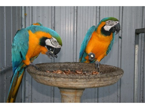 likable Macaw available