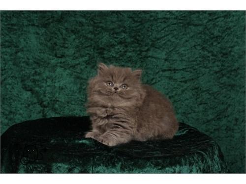 British Longhair Kittenss