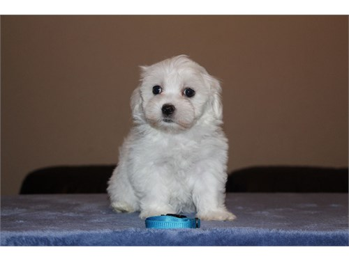 Sparkling Maltese Pups