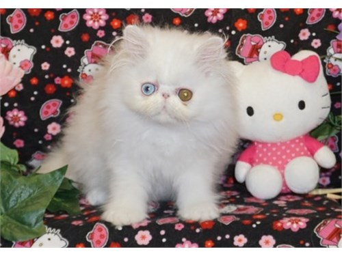 WHITE PERSIAN KITTENS