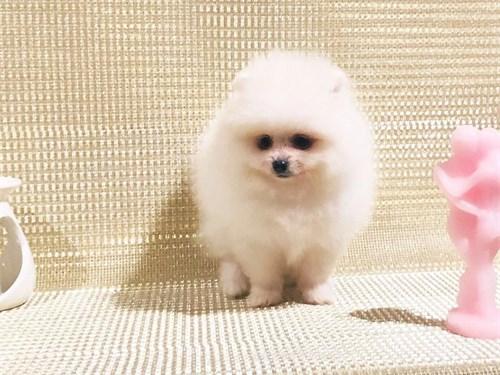 Zesty Pomeranian Pups