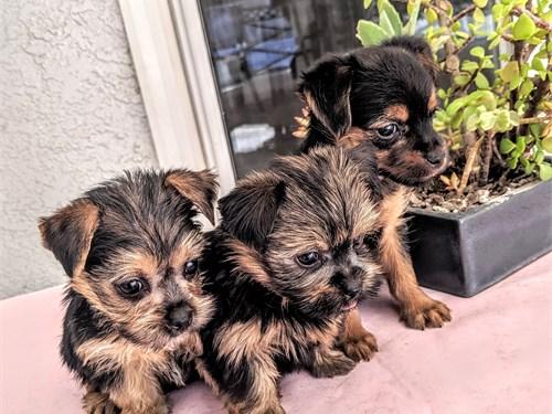 gorgeous Morkie puppy