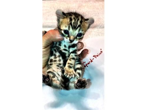 F2 hybrid kitten