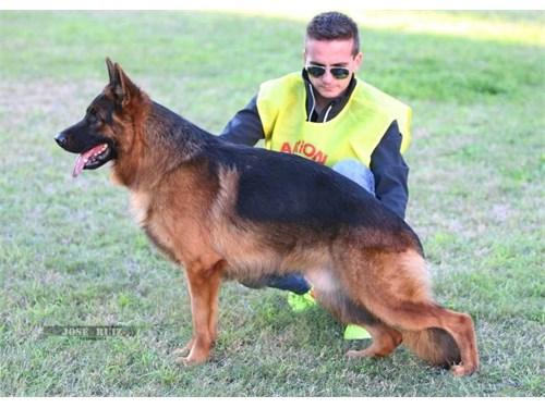 German Shepherd Stud Serv