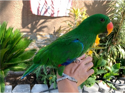 Baby Red-Sided Eclectus