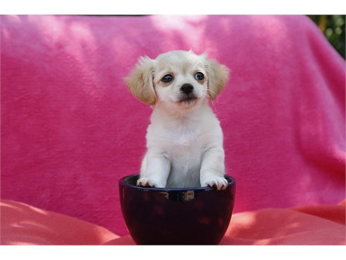 Very Rare Maltipoo Puppy