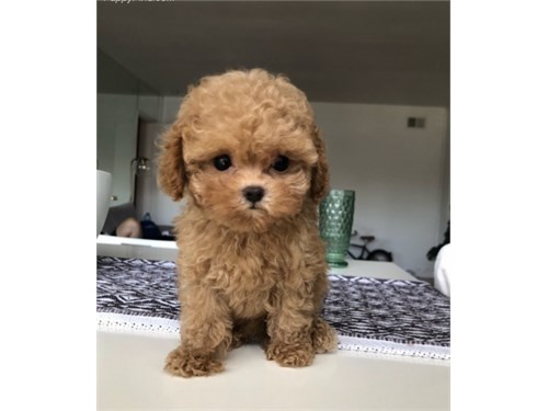 T CUP RED MALTIPOO PUPPY
