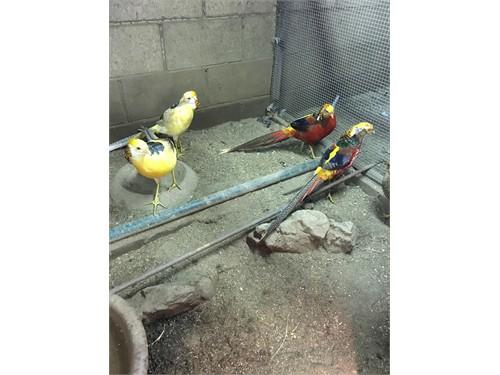 Variety of Pheasants