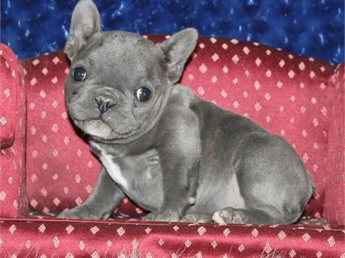 AKC Mini blue male french