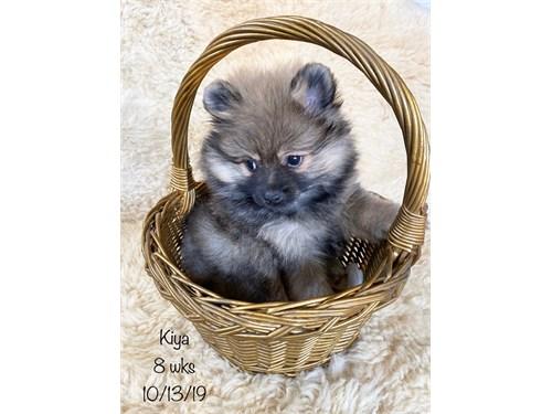 AKC Pomeranian puppy