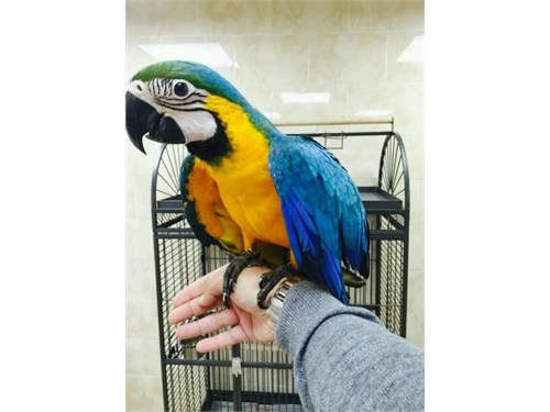 lovable Macaw available