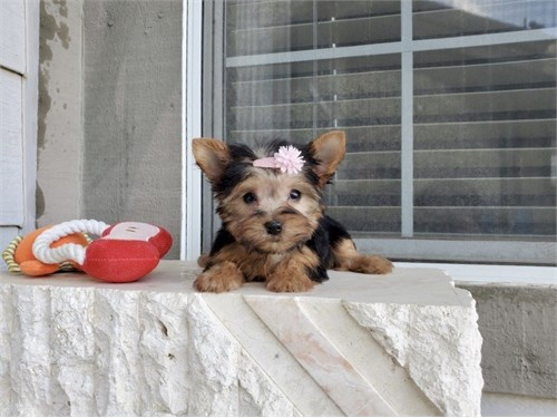Tiny Teacup Yorkie Pups
