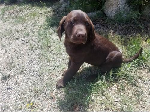 AKC Labrador Retriever