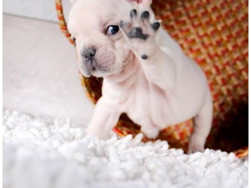 Pied French Bulldog Male