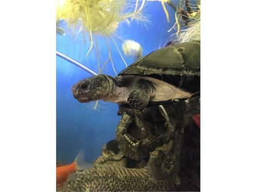 African side neck turtle