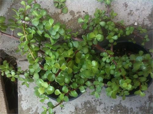 Small Leaf Jade Plant