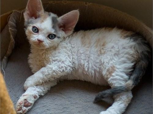 Devon Rex kittens ready