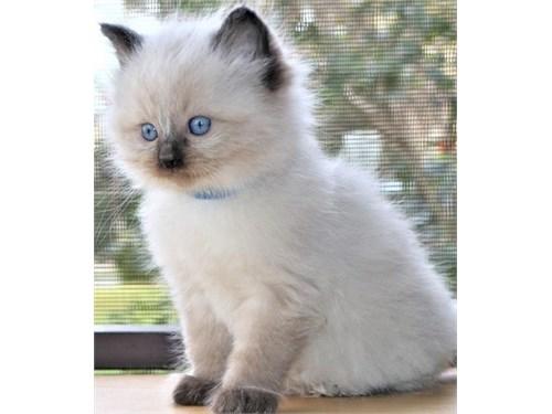 Bubbly Ragdoll Kittens