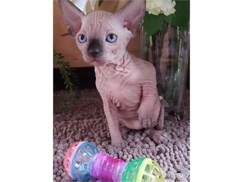 Sphynx Kittens ready.