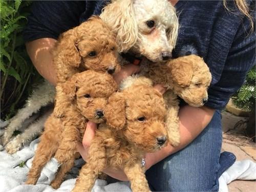 Red Toy poodle 8 weeks