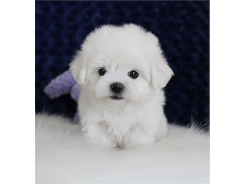 CKC Teacup male maltese