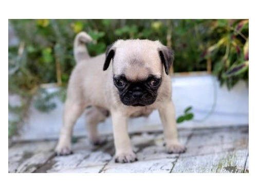 Pug puppies ready