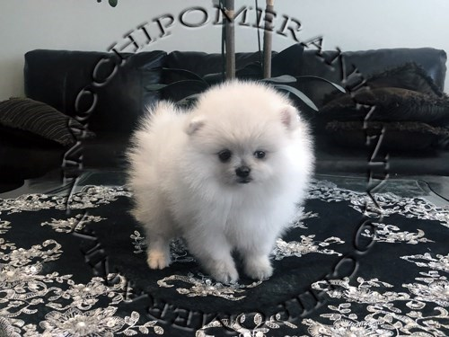 AKC Teacup White Female