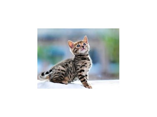 Cute Bengal Kittens Avail