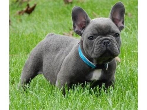 blue french  bulldog pupp