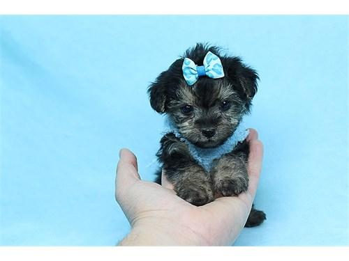 JC - Teacup Yorkipoo