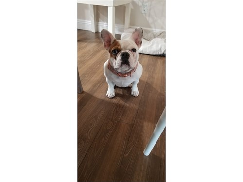 Adorable French Bulldog