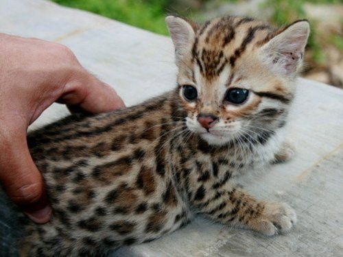 Lovely Savannah Kittens