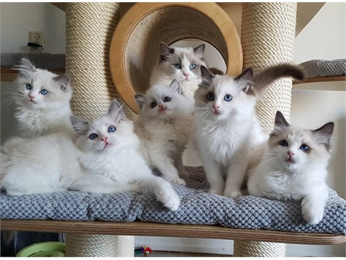 Available ragdoll cats