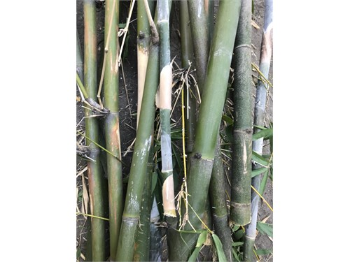 FREE BAMBOO up to 30 ft