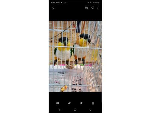 Caiques Parrots bonded