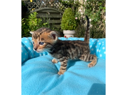 Quality Bengal Kittens$$