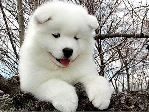 samoyed Pups ready now